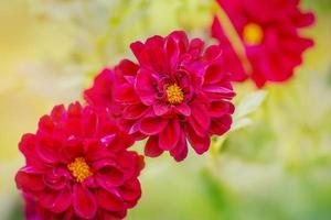 flores de crisântemo no outono. três flores roxas com foco suave. foto