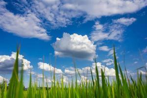 campo de arroz da tailândia com céu azul e nuvem branca foto
