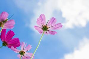 linda flor do cosmos sob o fundo do céu azul foto
