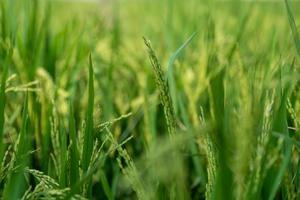 existem campos verdes de arroz no campo e arroz imaturo foto