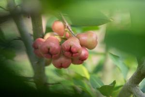 a maçã de cera no campo está na árvore foto