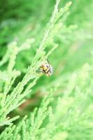 close up arborvitae natural bonito foto