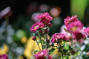 os crisântemos roxos menores no parque estão contra um fundo verde escuro foto