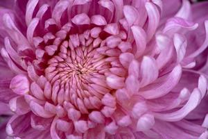 grandes crisântemos roxos no parque foto
