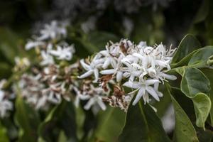 flor de cafeeiro com flores de cor branca em dia riny, com foco seletivo, no brasil foto
