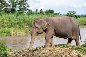 elefantes no rio ping, chiang mai, tailândia foto
