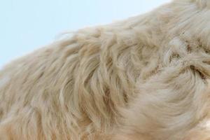 closeup animal de cara de cabra com céu azul foto