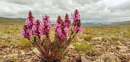 flores do parque nacional deosai foto