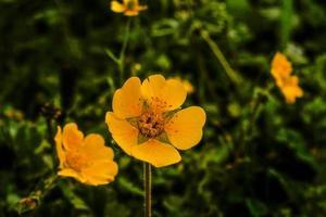 flor amarela kumrat vale bela paisagem vista das montanhas foto