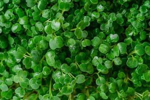 fundo de micro verdes verdes de rúcula. vista do topo. foto
