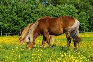 cavalos islandeses em um campo amarelo foto