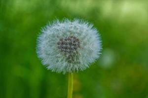 close-up de uma flor de dente-de-leão exagerada foto