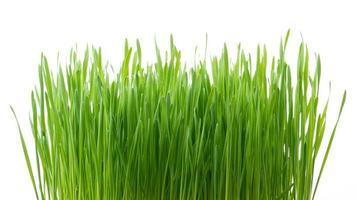 grama de trigo verde isolada no fundo branco foto