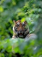 tigre de bengala descansando entre arbustos verdes foto