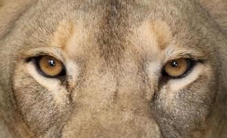 olhos de leoa fecham-se foto