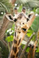 girafa falando engraçado foto