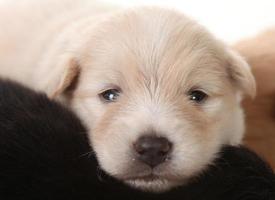 olhos de cachorrinho branco da pomerânia recém-nascido abertos foto