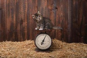 gatinho fofo com palha em um celeiro foto