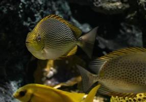 peixe coelho java ao vivo na água. foto