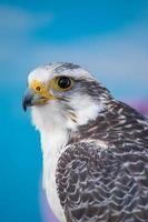 falcão peregrino ave de rapina foto