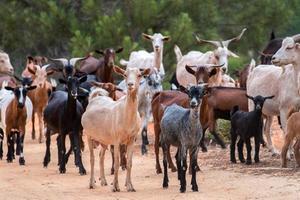 um rebanho de cabras foto