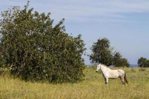 cavalo branco nos campos foto