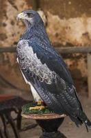 pássaro falcão close up foto