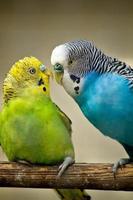 dois pássaros periquitos foto