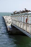 grupo de gaivotas no cais foto