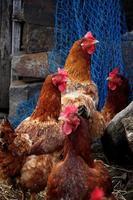 bando de galinhas foto