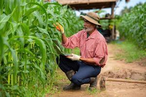 agricultores usam um laptop para verificar a qualidade da folha de milho na plantação de milho foto