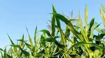 milho agrícola em dia de sol foto