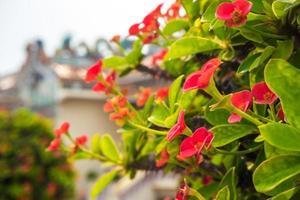 flor vermelha de espinho de cristo, planta auspiciosa em locais religiosos chineses foto