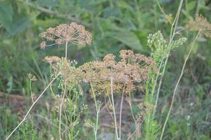 endro seco cresce no jardim para temperar foto
