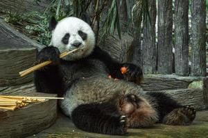 urso panda gigante comendo folha de bambu. foto