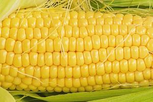 colheita da colheita de outono. close-up da foto macro de milho amarelo maduro.