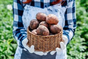 batatas em uma cesta de vime nas mãos de uma agricultora contra um fundo de folhagem verde foto