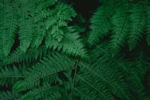 linda samambaia com folhas verdes naturais flor samambaia foto