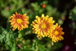 pequenos crisântemos amarelos selvagens no parque foto