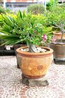 chuanchom é a árvore da sorte da fé. lindas flores em vaso. foto
