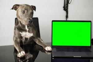 cachorro pit bull com cara fofa sentado na cadeira foto