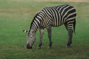 planícies zebra comendo grama foto