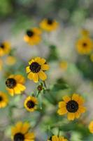 rudbeckia hirta l. toto, flores de susan de olhos pretos da família asteraceae foto