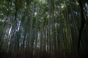 vista de uma floresta de bambu vista de dentro. árvores magníficas protegendo do sol. Japão foto