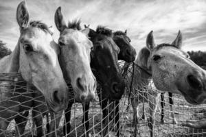 cavalos comendo na fazenda foto