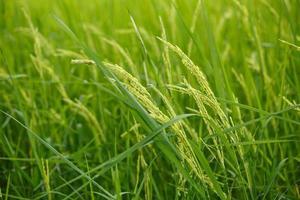 flores de arroz no campo foto