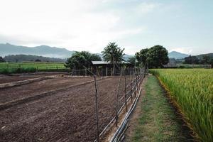 as plantas de arroz nos campos, arrozais foto