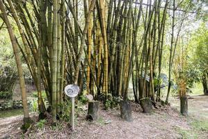 plantas de bambu no teatro de bambu, jardim botânico de perdana, malásia. foto