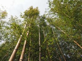 fundo de bambusoideae de árvore de bambu foto