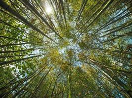 bambu árvore bambusoideae foto